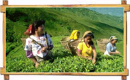 Women Plucking Tea Leaves at Darjeeling Tea Gardens