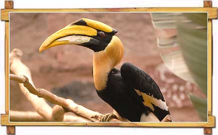 Great Indian Hornbill - Silent Valley National Park