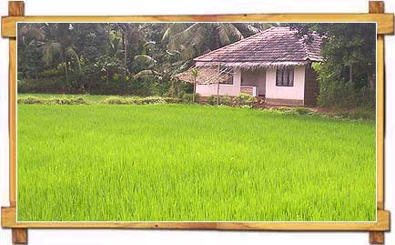 Rice Fields at Palakkad