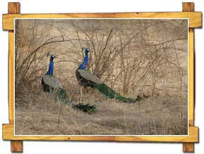 Ranthambore Peacocks