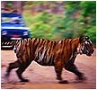 Tiger Trail At Ranthambhore